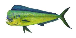 Mahi Mahi Fish, Fishing and Information