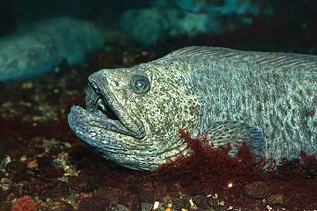 Northern Wolf Fish